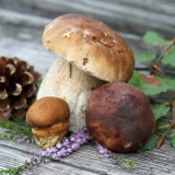 verschiedene Steinpilze - different porcini mushrooms - différents champignons porcini
