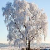 gefrorener Baum - frozen tree - arbre gelé