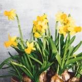 Narzissen - daffodils - jonquilles