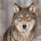 grauer Wolf - grey Wolf - loup gris