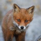 kleiner Rotfuchs - little red fox - petit renard roux