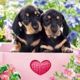 süsse kleine Dackelwelpen - sweet little Dachshund puppies - doux petits chiots teckel