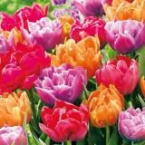 schöne bunte Tulpen - beautiful colorful tulips - belles tulipes colorées