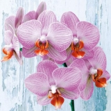 zarte Orchideen vor einer Holzwand - delicate orchids in front of a wooden wall - orchidées délicates devant un mur en bois
