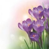 Ein Haufen violetter Krokusse - A bunch of purple crocuses - Un tas de crocus violets