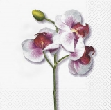 klassische Orchidee in weiss - classical orchid in white - orchidée classique en blanc