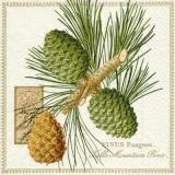 Kiefer, Zapfen & Geschriebenes - Pine, cones & writing - Pin, cônes et écriture