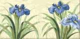 Wunderschöne Iris - Beautiful Iris - Beau Iris
