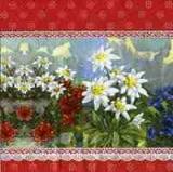 Alpenglühen rot - Edelweiß - Alpenblumen- Mountain, Flowers, -Montagne, fleurs