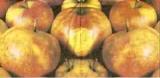 Äpfel über Äpfel - Apples - Pommes