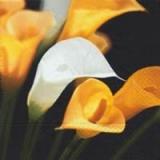 weiß/gelbe Callas