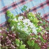Wunderschöner dunkler und heller Flieder - Lilac dark & light - Plus merveilleusement le sombre et clair lilas